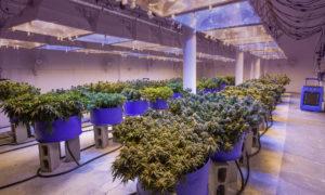 cannabis-facility